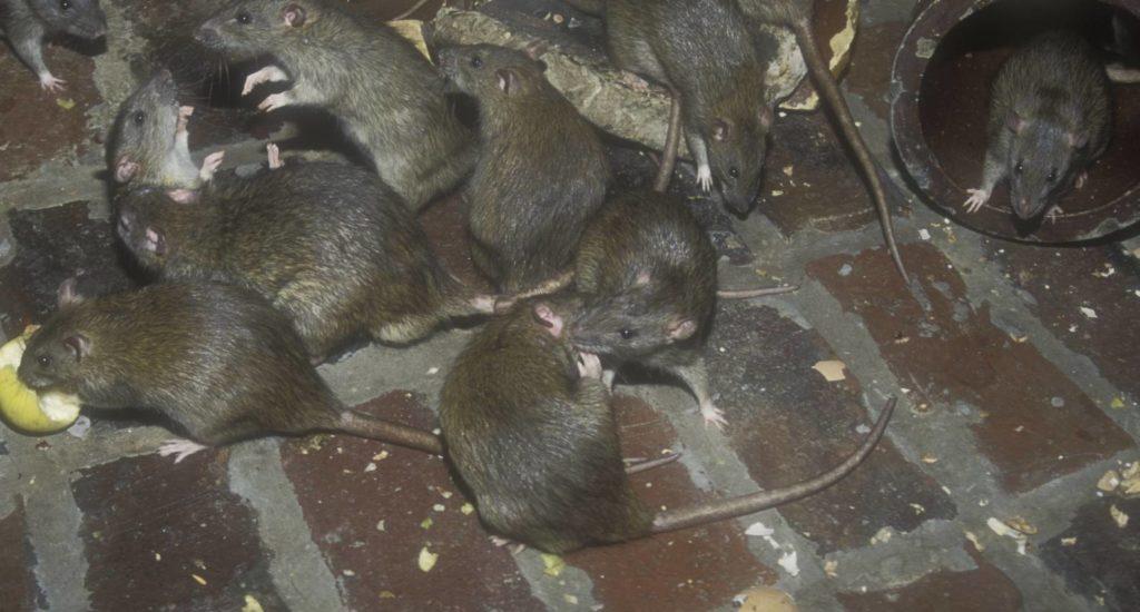 уничтожение крыс в Волоколамске
